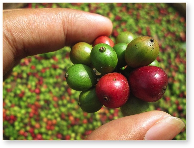 Hawaii coffee beans