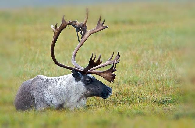 ANWR Caribou