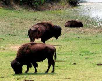 Catalina Buffalos