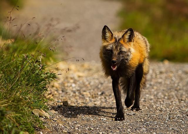 Alaska Fox